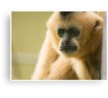 Tan Gibbon Canvas Print
