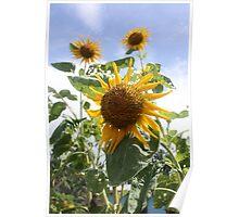 Sunflowers in Fiji Poster