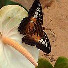 Beautiful Brown Butterfly by ienemien