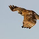 Red-tailed Hawk 2  - Ontario, Canada by Raymond J Barlow
