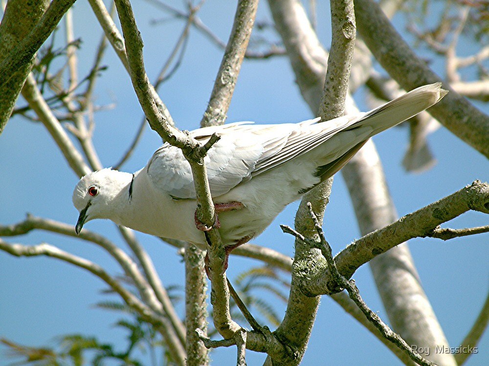 Ring Necked Dove. by Roy  Massicks