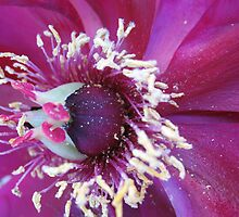 Bursting at the seams Clematis by MarianBendeth