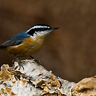 Red Breasted Nuthatch by Gashphotography
