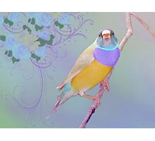 Lady Gouldian Photographic Print