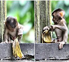 Pig-tailed Macaque Baby Playing, Borneo  by Carole-Anne