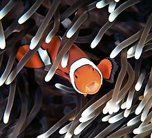 False Clown Anemonefish by Melissa Fiene
