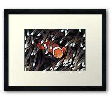 False Clown Anemonefish Framed Print