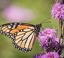 Monarch and Blazing Star 5-2015 by Thomas Young