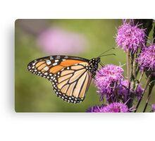 Monarch and Blazing Star 5-2015 Canvas Print