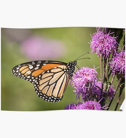 Monarch and Blazing Star 5-2015 Poster