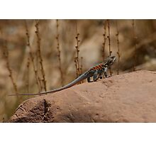 Red Barred Dragon   Photographic Print
