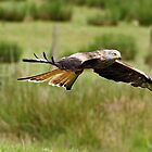 Red Kite in flight. by vonniepyn