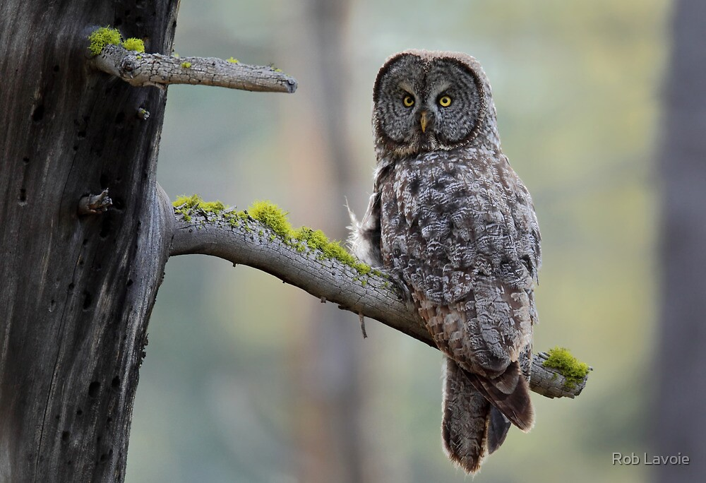 Great Gray Owl by Rob Lavoie