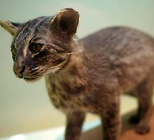 Furry Iriomote Cat by cute-wildlife