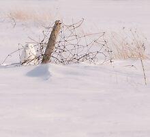 Snowy Owl - Arthur - Ontario Canada by Raymond J Barlow