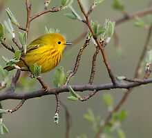 Yellow Warbler - Ontario, Canada by Raymond J Barlow