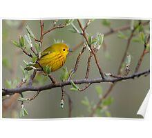 Yellow Warbler - Ontario, Canada Poster