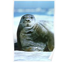 Pretty Bearded Seal Poster