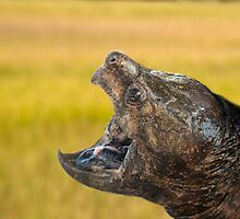 Alligator Snapping Turtle by imagetj