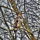 Rough Legged Hawk in HDR by charlie murray