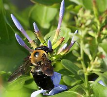 Bumble bee on blue flowers by jozi1