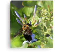 Bumble bee on blue flowers Metal Print