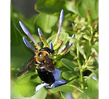 Bumble bee on blue flowers Photographic Print