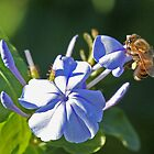 Honey bee  by jozi1
