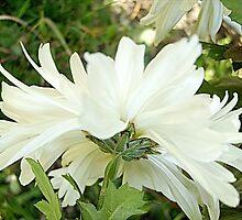 Chrysanthemum by Ana Belaj