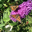 Small Tortoiseshells on a Buddleia  by DEB VINCENT