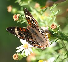Angled On Buckeye Butterfly by Terry Aldhizer