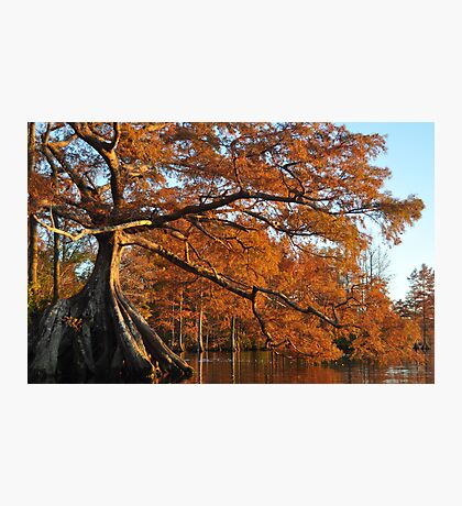 Cypress Fall Photographic Print