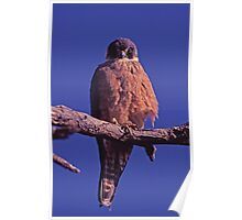 Hobby Falcon, western Queensland Poster