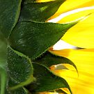 Sunflower by Eve Parry