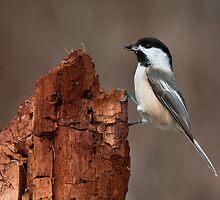 Black-Capped Chickadee on Stump by (Tallow) Dave  Van de Laar
