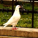 White Pigeon by Charcoalfeather