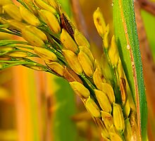 Rice Seeds by Mukesh Srivastava
