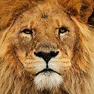 Lion by Danielle  Miner