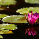 pink waterlily by Manon Boily