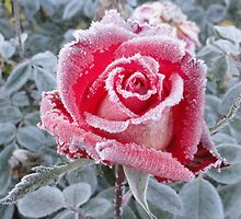 The Kiss of Frost on a Rose by Goudy