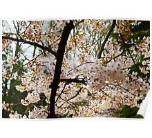 Tree of White Blossoms Poster
