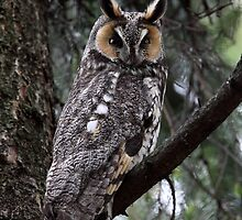LEO  Revisited / Long Eared Owl by Gary Fairhead