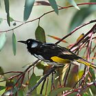 New Holland Honeyeater (Phylidonyris novaehollandiae) by Geoff Beck