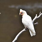 Long-billed Corella (Cacatua tenuirostris) by Geoff Beck