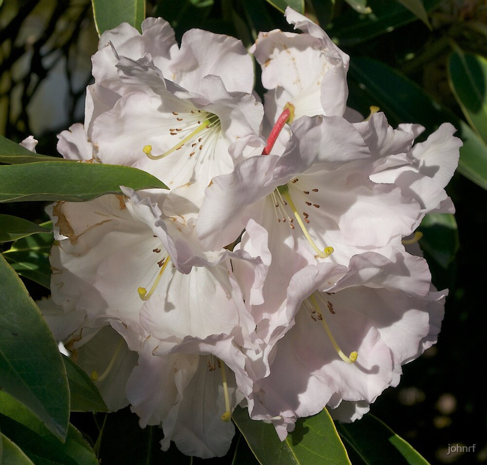 White Rhododendron, Broadfields, Christchurch, NZ by johnrf