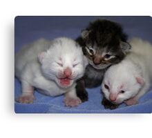 Kittens-One Week Old Canvas Print