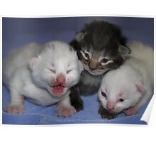 Kittens-One Week Old Poster