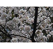 White Blossoms Photographic Print