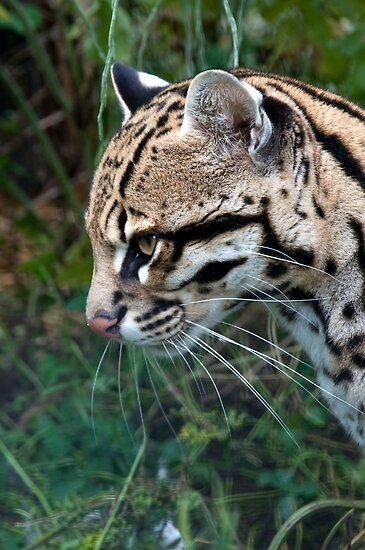 Side Profile Of An Ocelot - (Leopardus pardalis) by Robert Taylor