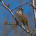 White-Crowned Sparrow. by Aler